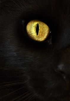 yellow eye cat - Google Search