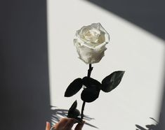 Our ever-classic, single long-stem Forever Rose is the perfect combination of lasting beauty and radiating elegance. Dimensions: a cm rose on a 50 cm long stem Aesthetic Roses, Gold Aesthetic, Black And White Aesthetic, Aesthetic Colors, Aesthetic Collage, Aesthetic Pictures, Black And White Picture Wall, Black And White Pictures, Aesthetic Backgrounds