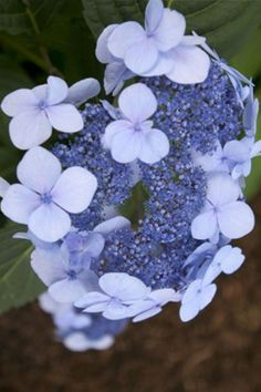 Easy To Grow Houseplants, Endless Summer Hydrangea, Perfect Plants, Live Plants, Flower Beds, Southern, Flowers, Raised Beds, Royal Icing Flowers