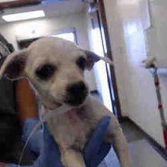 Phoenix, Arizona - #chihuahua. Meet , a for adoption. https://www.adoptapet.com/pet/21386709-phoenix-arizona-chihuahua-mix