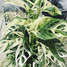 How Herb Back Garden Kits Can Get Your New Passion Started Off Instantly Variegated Monstera Adansonii Unusual Plants, Rare Plants, Exotic Plants, Cool Plants, Green Plants, Tropical Plants, Variegated Plants, Inside Plants, House Plants Decor