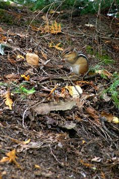 Photo of the Day: North Woods Chipmunk, Northern Ontario #canadaisreallybig #photooftheday | A. Espetveidt | Quadrophonic Image