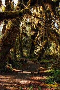 The Hoh Rain Forest is located in the stretch of the Pacific Northwest rainforest which once spanned the Pacific coast from southeastern Alaska to the central coast of California. The Hoh is one of the finest remaining examples of temperate rainforest in the United States and is one of the park's most popular destinations (including the Hall of Mosses pictured above).Photo: National Park Service