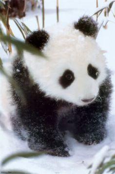 Panditas -Asset Panda