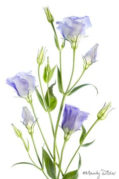 Lisianthus | by Mandy Disher
