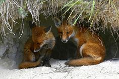 Two Young Red Fox Kits at the Entrance of the Den Waiting For Their Mother. Lynx, Beautiful Creatures, Animals Beautiful, Coyotes, Baby Animals, Cute Animals, Nature Animals, Fantastic Fox, Fabulous Fox