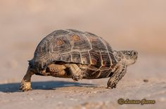Texas Parks and Wildlife shared Luciano Guerra's photo.  A Texas Tortoise ambles along a wildlife refuge in LaJoya, Tx. Native to south Texas, this unique reptile is a threatened species. In fact, it's against the law to possess a Texas Tortoise.