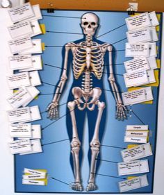 Skeletal Poster-Altered with Manipulatives