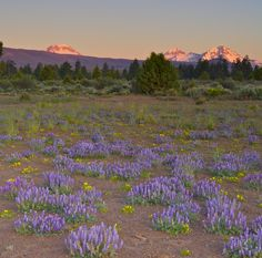 Sisters, Oregon. Spectacular picture of the 3 Sisters Mtns. I grew up in Central Oregon and the smell of the Juniper warms my soul every time I go back to visit.