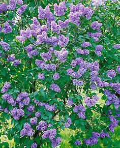 Shrubs...Syringa Vulgaris - Lilac - Common Purple...Old fashioned lilac bush