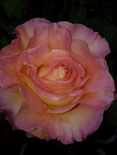 "Rose ""Elle"" wonderful fragrance! Photo by Jan R.Fuller"