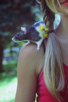Tipps & Tricks um Ratten als Haustiere zu halten ✔ Kosten & Zeitaufwand ✔ Käfig & Zubehör ✔ Spielzeug ✔ Rattenfutter ✔ Zähmen ✔ Farbratten Ratgeber