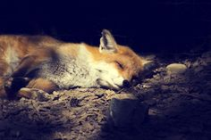 La sieste du renard