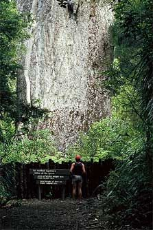 "The Kauri tree is a native of New Zealand. It is one of the largest trees (by volume) in existence. There are very few left as widespread logging in the 19th century depleted most stands. The largest remaining tree is Tane Mahuta (Lord of the Forest) in the Waipoua Forest in Northland. This picture is of ""Te Matua Ngahere"" (Father of the Forest) is the second largest but probably the oldest of the remaining Kauri trees and is estimated to exceed 2000 years."