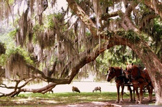 Visit Boone Hall plantation for a gorgeous stroll through the oaks!