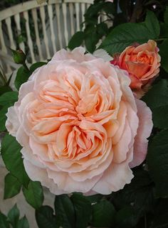 A Shropshire Lad Rose - Scented Rose. Miss my peach roses in Laf Beautiful Roses, Beautiful Gardens, Beautiful Flowers, Beautiful Pictures, Perennial Flowering Plants, Garden Plants, Garden Roses, Shropshire Lad Rose, Rose Got