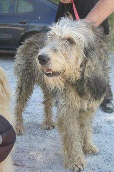 Ophélia.  'Le Griffon nivernais est un chien d'origine française. Son poil est long et sa robe est charbonnée. Ce griffon est spécialisé dans la chasse au sanglier.'