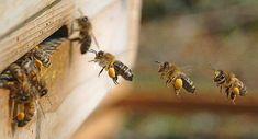 Αναπαράγονται μέλισσες χωρίς κηφήνες;