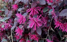 Purple Pixie Loropetalum Picture