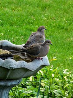 Mourning Dove Mates / Bird bath stop on a day spent in my yard. - S.Dorman's photo
