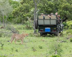 Spotting a cheetah on safari