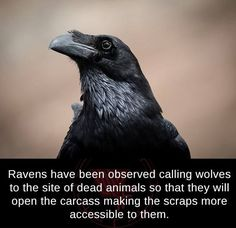 Ravens Are Terrifyingly Smart And Form Complicated Raven - Those Dudes Are Hella Fucking Smart The A V Club Ravens Are Terrifyingly Smart And Form Complicated Raven Governments Knows That Birds Especially Crows And Ravens Are Freaky Beautiful Birds, Animals Beautiful, Beautiful Creatures, Animals And Pets, Funny Animals, Cute Animals, Crow Facts, Raven Facts, Raven And Wolf