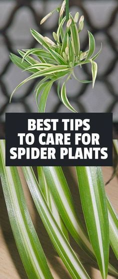 How to Care For Spider Plants (Chlorophytum Comosum) Learn exactly how to care for the spider plant one of the easiest and most forgiving houseplants to grow. The post How to Care For Spider Plants (Chlorophytum Comosum) appeared first on Outdoor Ideas. Hanging Plants, Potted Plants, Garden Plants, Cactus Plants, Flowering Plants, Garden Bags, Hanging Gardens, Leafy Plants, Gardening