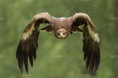 Golden Eagle (Aquila chrysaetos) by dirkr on @creativemarket