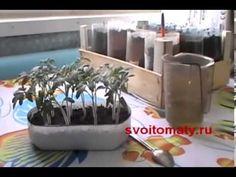 Как правильно пикировать сеянцы томатов (помидор) | Все про помидоры (томаты) - видео, фото, отзовы