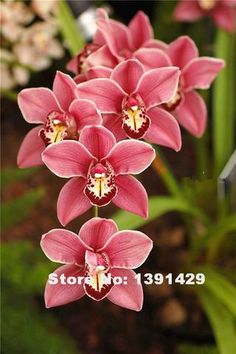 Hot Sale!!! 100pcs 22 colors Rare Cymbidium orchid, African Cymbidiums seeds