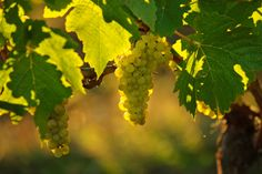 Chardonnay close-up from Ponzi Vineyards certified sustainable vineyards in the Willamette Valley, Oregon. Cool place
