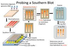 DNA Analysis: Blotting and Hybridization - Biology LibreTexts Study Biology, Teaching Biology, Cell Biology, Molecular Genetics, Medicine Notes, Human Anatomy And Physiology, Medical Laboratory, Study Skills