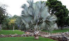 Image result for palmeira azul