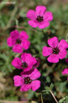 """Geranium cinereum """"Splendens"""""""