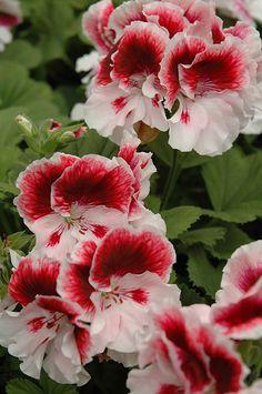 Geranium - Elegance Crystal Rose Martha Washington Geranium