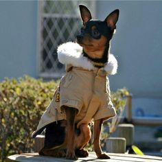 Photo by tei_minpin  #minpin #pinscher #dog