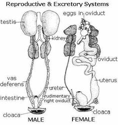 graphic depicting the female avian reproductive tract ...