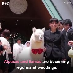 Make your wedding memorable with an alpaca for a guest!