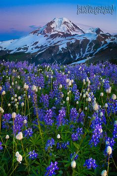 Mount Baker Wildflower Season by kevin mcneal on Flickr.