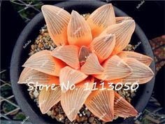 60Pcs/Bag Lithops Seed Succulents Raw Stone Cactus Seeds Beautiful Blue Lithops Seeds, Easy To Grow, the Budding Rate 97%