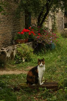 French ^..^ ...   what a perfect scene with the kitty and geraniums, stonework and cool green.