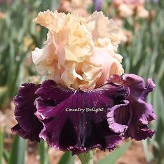 JAMAICA ME CRAZY Tall Bearded Iris - SHIPPED IN JULY