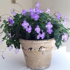 This could be a centerpiece if the season was right. Great purple green contrast   $6.99 plant cost.... Streptocarpus saxorum