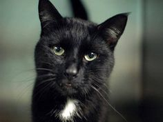 TO BE DESTROYED 5/21/14 ** Pretty black kitty looking for a home tonight! He would LOVE for that home to be with you!! Loki interacts with the Assessor, solicits attention, is easy to handle and tolerates all petting. ** Brooklyn Center  My name is LOKI. My Animal ID # is A0998990. I am a neutered male black and white amer sh mix. The shelter thinks I am about 6 YEARS old.  I came in the shelter as a STRAY on 05/07/2014 from NY 11691