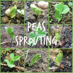 Collage of Pea Sprout Pictures Ecommerce Hosting, Growing Vegetables, Sprouts, Collage, Garden, Plants, Pictures, Photos, Collages