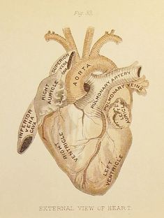 Anatomical heart. I love this for a tattoo. I love anatomy, and it has always…