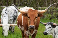 White Cow, Cows, Cattle, Calves, Lambs, Portrait, My Love, Ivy, Pictures