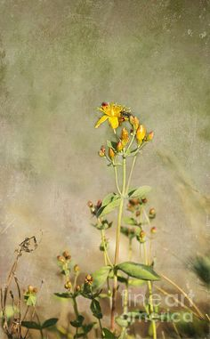 Title:  Yellow-red Wildflower With Texture   Artist:  Belinda Greb   Medium:  Photograph - Photographs, Photography, Photograph