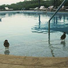 Our little friends are enjoyong the hotel's pool. So cute!  Nuestros pequeños amigos también disfrutan de la piscins del hotel Qué lindos!  www.placeok.com  #galapagos #islands #birds #tbt #happywednesday #nature #felizmiercoles #ecuador #birds