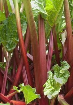 Rhubarb is a widely-grown plant that can make an excellent addition to a number of dishes and meals. Late spring to early summer is prime time for rhubarb harvest and consumption. When growing rhubarb at home, take care to ensure prime production. Greenhouse Gardening, Container Gardening, Gardening Tips, Vegetable Gardening, Organic Gardening, Herb Seeds, Garden Seeds, Container Flowers, Garden Care